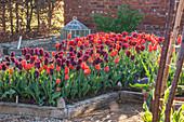Tulpen-Beet in hellrot und schwarzrot gemischt