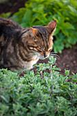Katze schnuppert an Katzenminze (Nepeta)