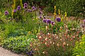 Beet mit Zierlauch 'Globemaster' (Allium), Junkerlilie (Asphodeline) und Nachtkerze 'Apricot Delight' (Oenothera)