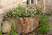 Spanisches Gänseblümchen 'Blütenmeer' (Erigeron karvinskianus) im Steintrog