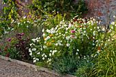 Sommerblumen-Beet mit Schmuckkörbchen (Cosmos), Fuchsschwanz 'Mekon Red' (Amaranthus) und Zinnien (Zinnia)