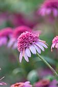 Sonnenhut 'Pink Double Delight' (Echinacea purpurea)