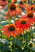 Sonnenhut 'Balsomador' (Echinacea)
