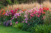 Herbst-Beet mit Dahlien und Garten-Reitgras 'Karl Foerster' (Calamagrostis)