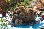 Korb mit frisch aufgesammelten Maronen, Eßkastanien
