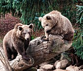 European brown bears