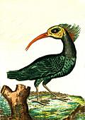 Northern bald ibis, 19th Century illustration