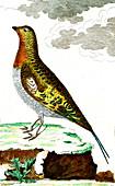 Hazel grouse, 19th Century illustration