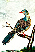Turtle dove, 19th Century illustration