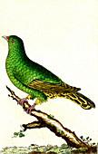 Green pigeon, 19th Century illustration