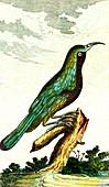 Collared sunbird, 19th Century illustration