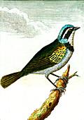 Tanager, 19th Century illustration