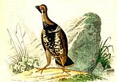 Spruce grouse, 19th Century illustration