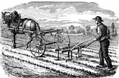 19th Century sugar beet plantation, illustration