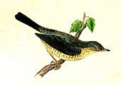 Barred warbler, 19th Century illustration