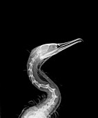 Cormorant, X-ray