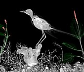 Wagtail on a perch, X-ray
