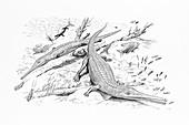 Pelagosaurus prehistoric crocodiles, illustration