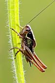 Roesels bush cricket nymph