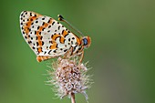 Spotted fritillary butterfly