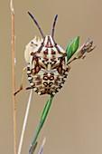 Shieldbug nymph