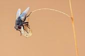 Fly resting on seedhead