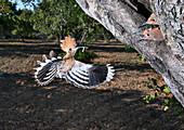 Hoopoe feeding chicks