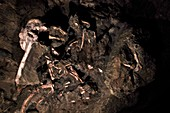 Little Foot Australopithecus fossil