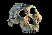 Skull cast of a Paranthropus boisei (Australopithecus boisei