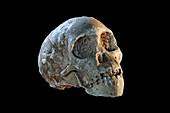 Taung Child (Australopithecus africanus) fossil skull