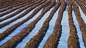 Flooded potato crop