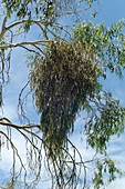 Drooping mistletoe (Amyema pendula)