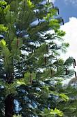 Wollemi pine (Wollemia nobilis)