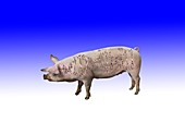 Pig genetics research, conceptual image