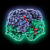 Woolly mammoth hemoglobin, molecular model