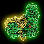 Sirtuin Sir2-Sir4 complex, molecular model