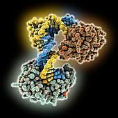 DNA repair complex, molecular model