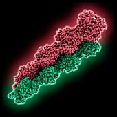 Actin filament, molecular model