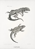 Galapagos and South American lizards, 19th century