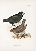 Large ground finch, 19th century