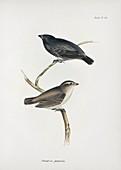 Small tree finch, 19th century
