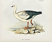 Andean goose, 19th century