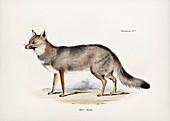Argentine fox, 19th century