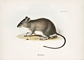 Waterhouse's swamp rat, 19th century