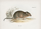 Southern big-eared mouse