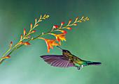Fiery-throated hummingbird feeding from a flower