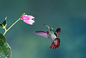 Rufous-tailed hummingbird feeding from a flower