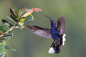 Violet sabrewing hummingbird feeding from a flower