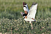 Little bustard male displaying