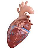 Human heart coronary veins and arteries, illustration